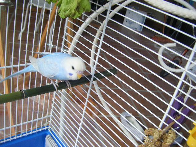 Blue, le plus beau des mecs perruches ! Dscf4717