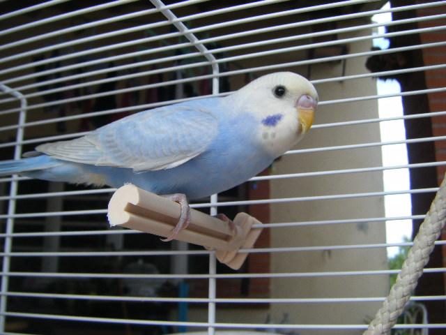 Blue, le plus beau des mecs perruches ! Dscf4718
