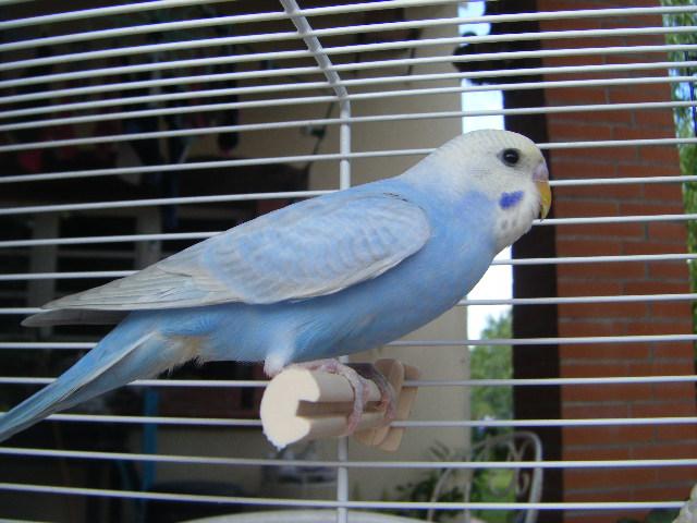Blue, le plus beau des mecs perruches ! Dscf4719