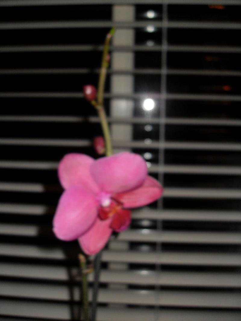 Phalaenopsis - Page 20 Sdc12331