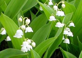 stéroïde appelé convallarine .muguet!fleur danger  Lily-o10