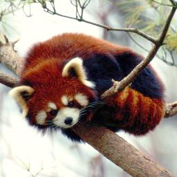 Crveni panda Redpan10