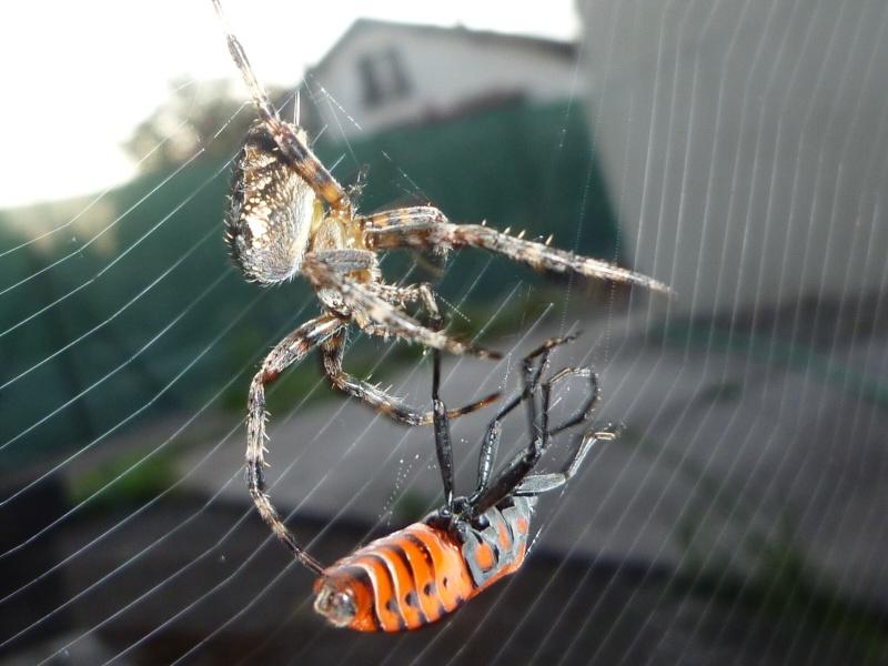 araignée sous voiture P1010911