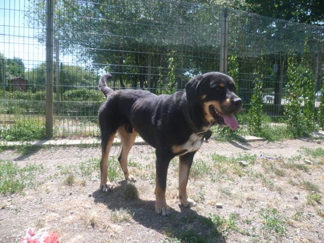 DINGO mâle croisé bouvier bernois 3 ans (44) - A ADOPTER - Dingo10