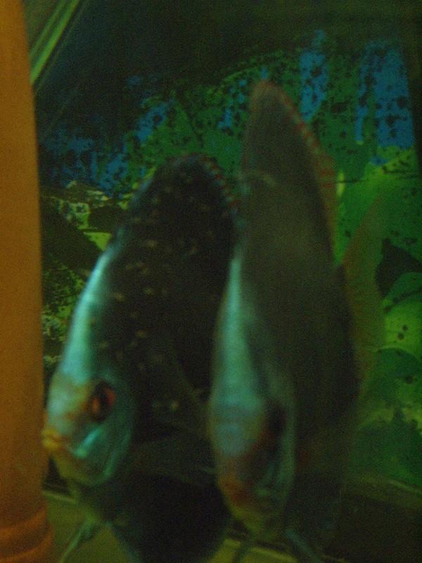 reproduction discus blue diamant green Repro_14