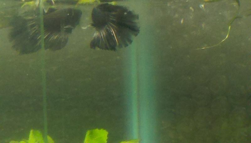 Irridescent Black or Dark Copper? 2011-012
