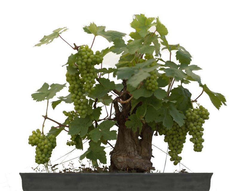 Vigne bonsai  _mg_3810