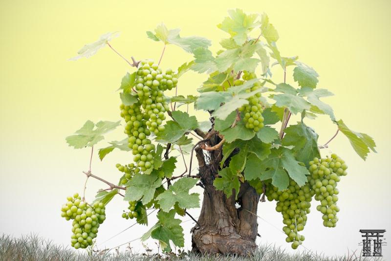 Vigne bonsai  _mg_3811