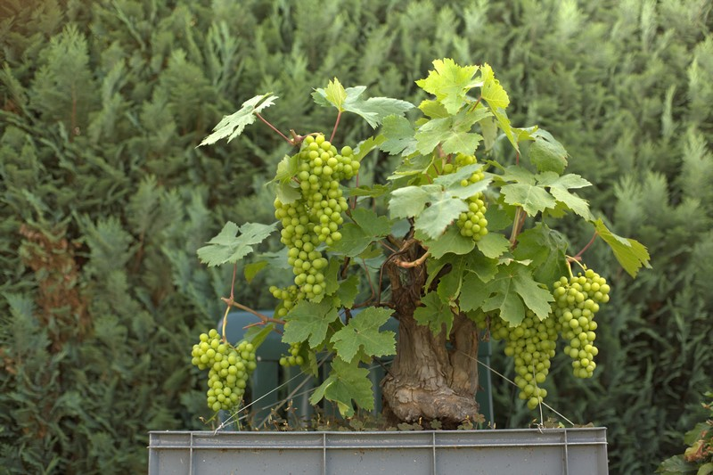 Vigne bonsai  _mg_3812