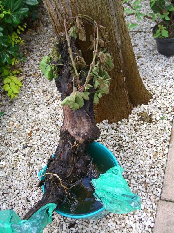 Vigne bonsai  Cimg7710