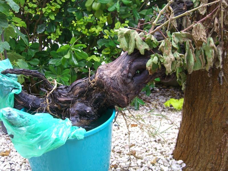 Vigne bonsai  Cimg7711