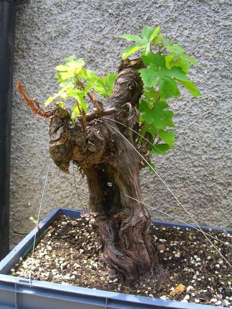 Vigne bonsai  Cimg8113