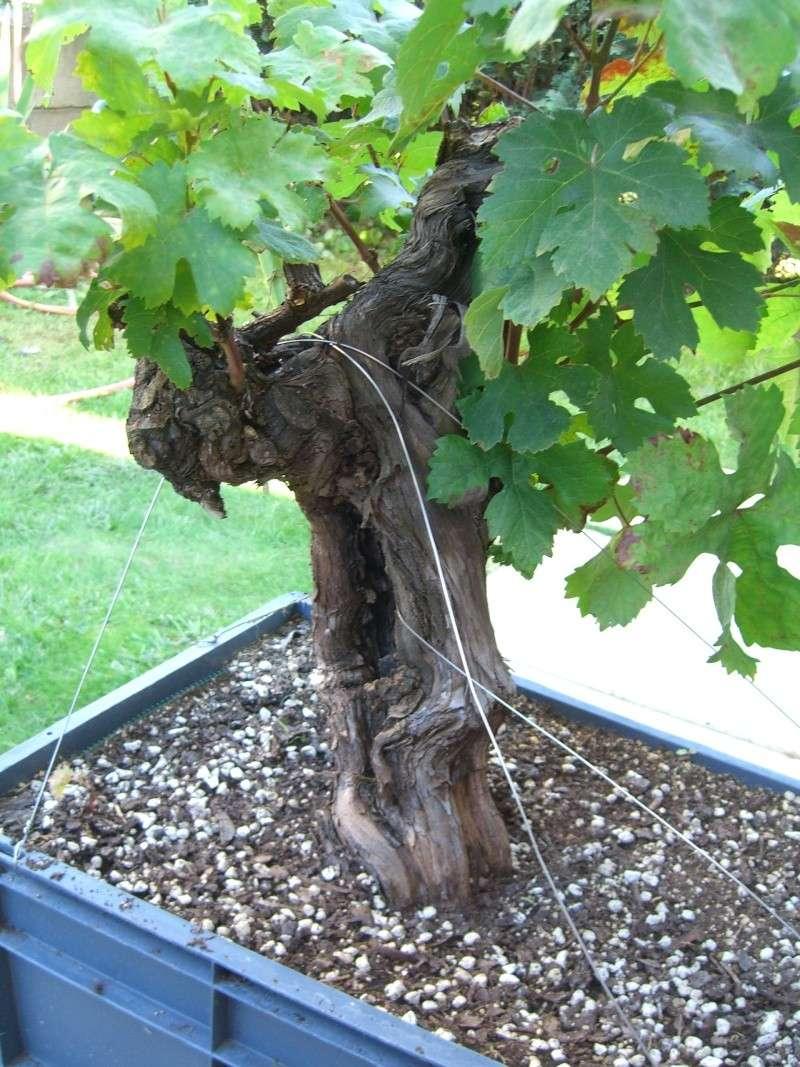 Vigne bonsai  Cimg8211
