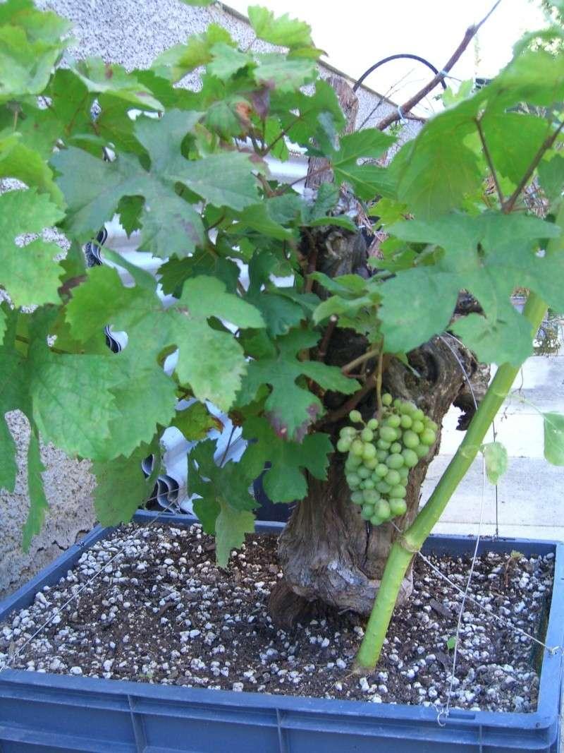 Vigne bonsai  Cimg8212
