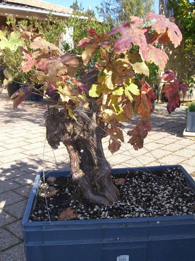 Vigne bonsai  Cimg8610