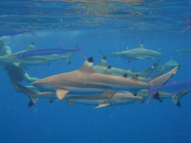escapade en mer du sud  Requin10