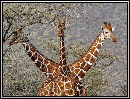 Tridge  Giraph10