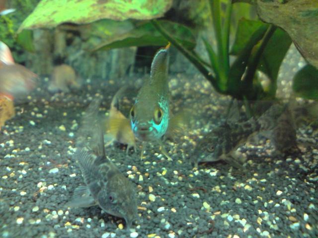 Reproduction Nannacara Anomala. P2604110