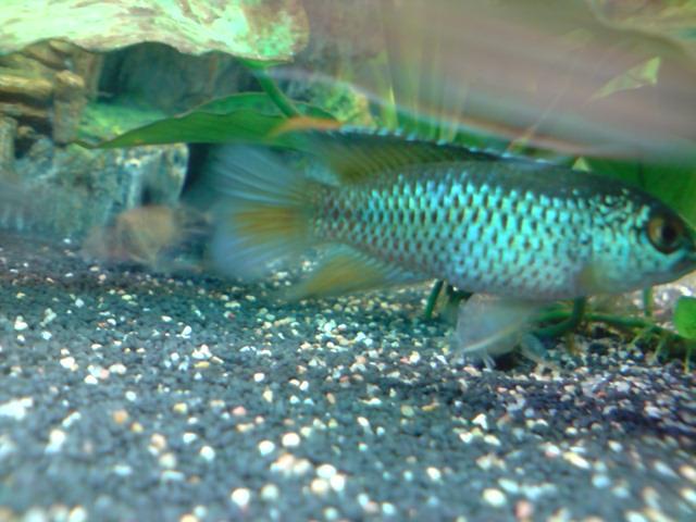 Reproduction Nannacara Anomala. P2604111