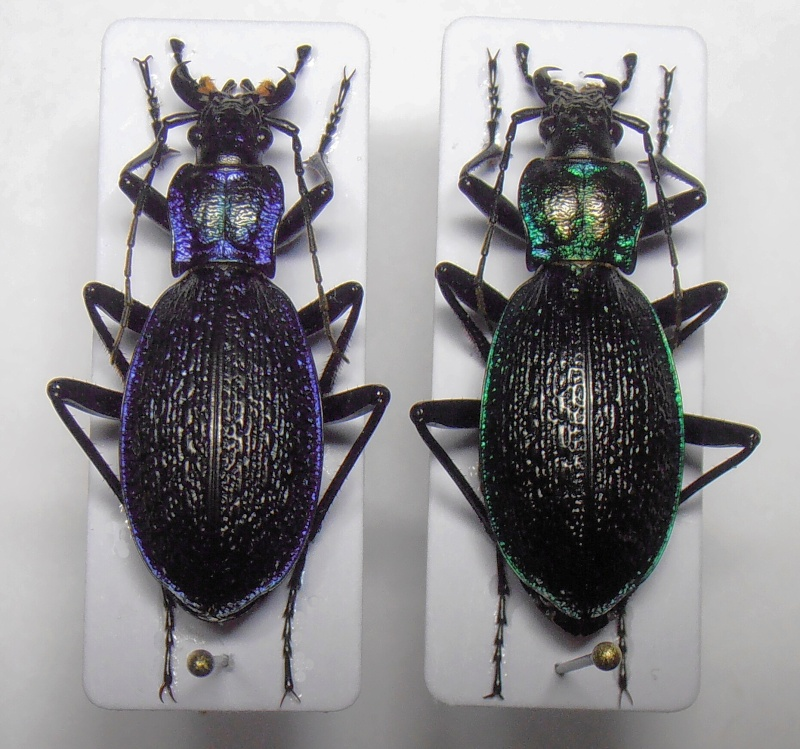 [C.(Chaetocarabus) intricatus] ab.tricolor (Letzn.1850) Kopie_28