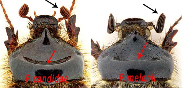 Pachypus sp? Pa_can10