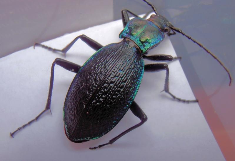 [C.(Chaetocarabus) intricatus] ab.tricolor (Letzn.1850) Pb190011