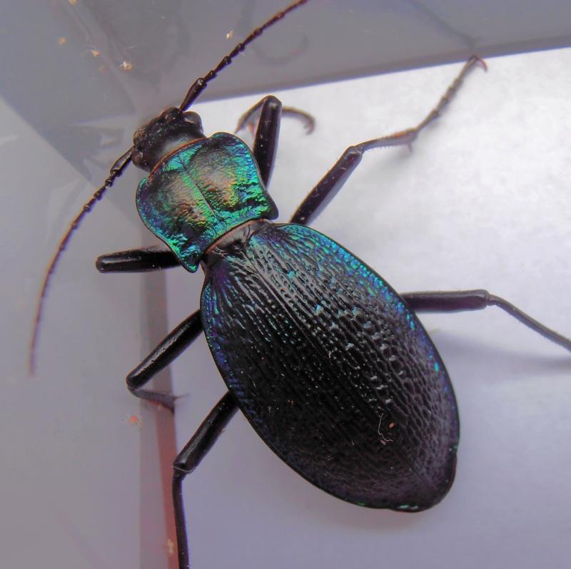 [C.(Chaetocarabus) intricatus] ab.tricolor (Letzn.1850) Pb190012