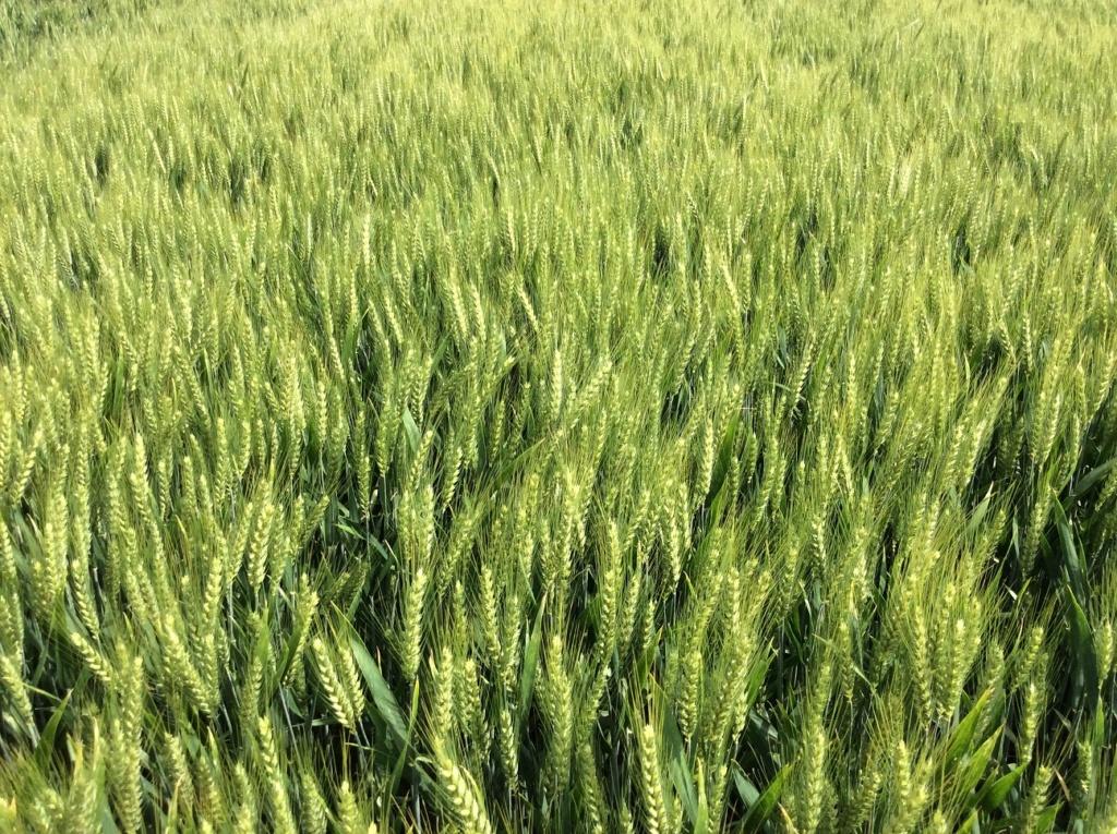 Suivis blés 2019 - Page 12 Img_1111