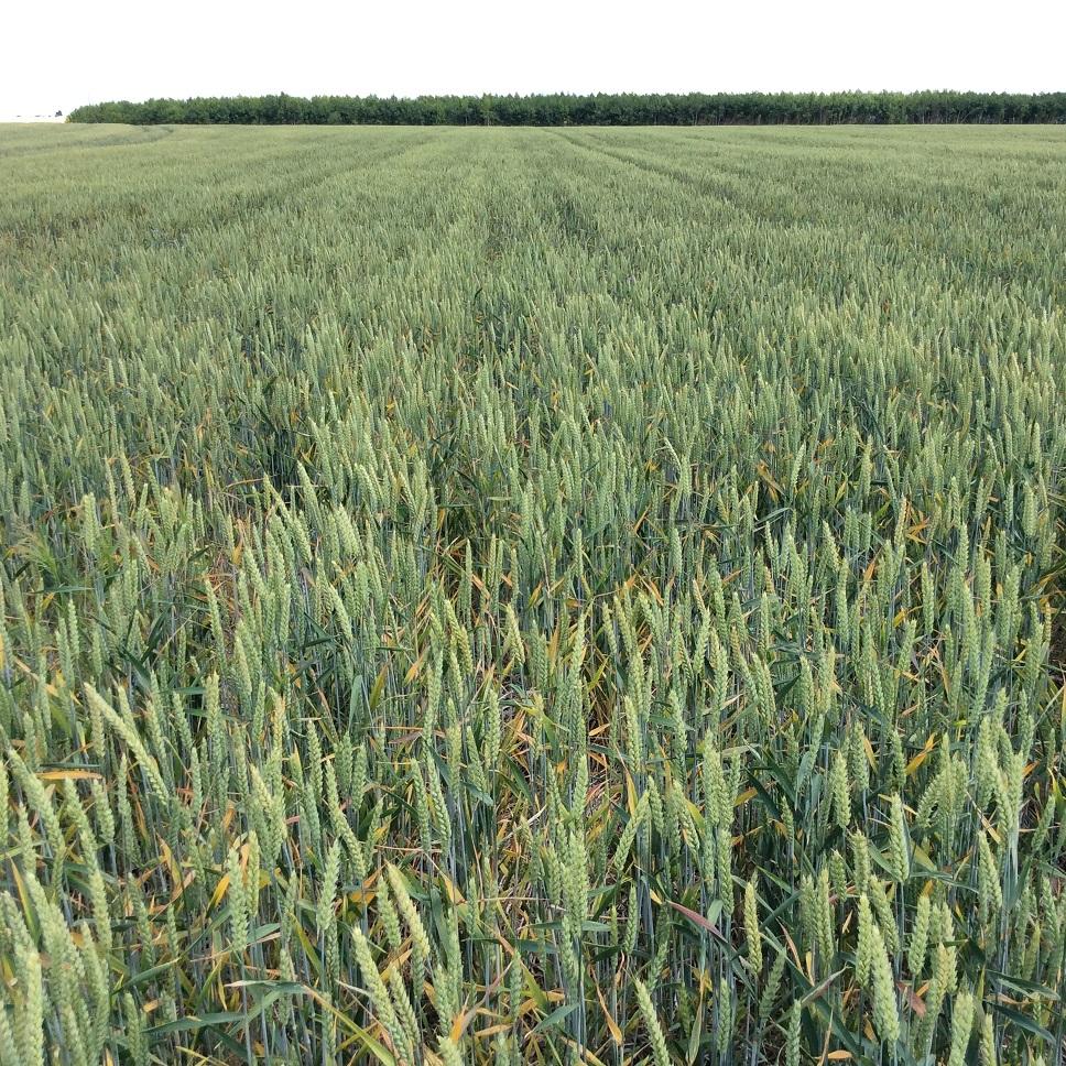 suivis blé 2020 - Page 5 Img_2040