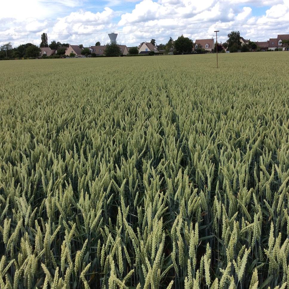suivis blé 2020 - Page 5 Img_2042