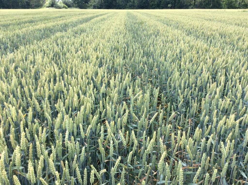 suivis blé 2020 - Page 5 Img_2050