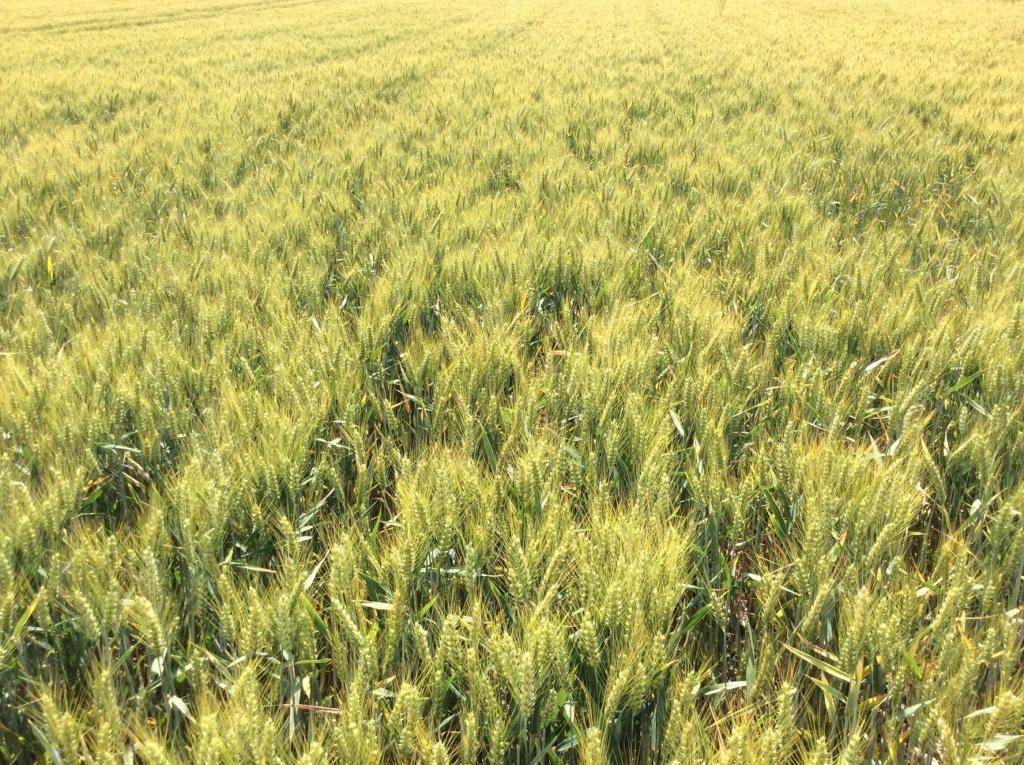 suivis blé 2020 - Page 5 Img_2053
