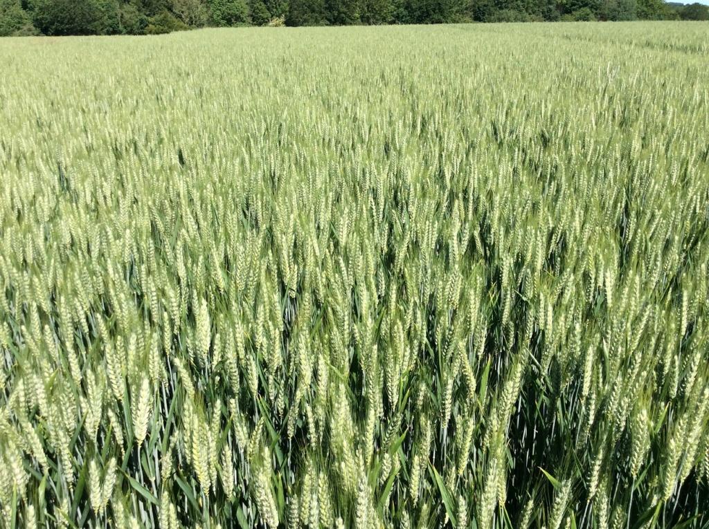 suivi blé 2021 - Page 2 Img_2623