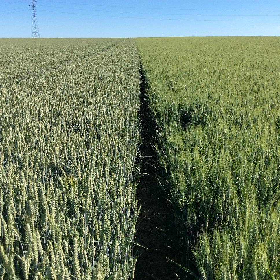 suivi blé 2021 - Page 2 Img_2631