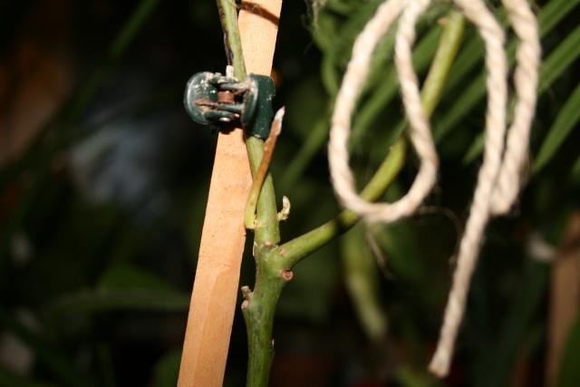 mon Avocatier-Persea americana Bourge10