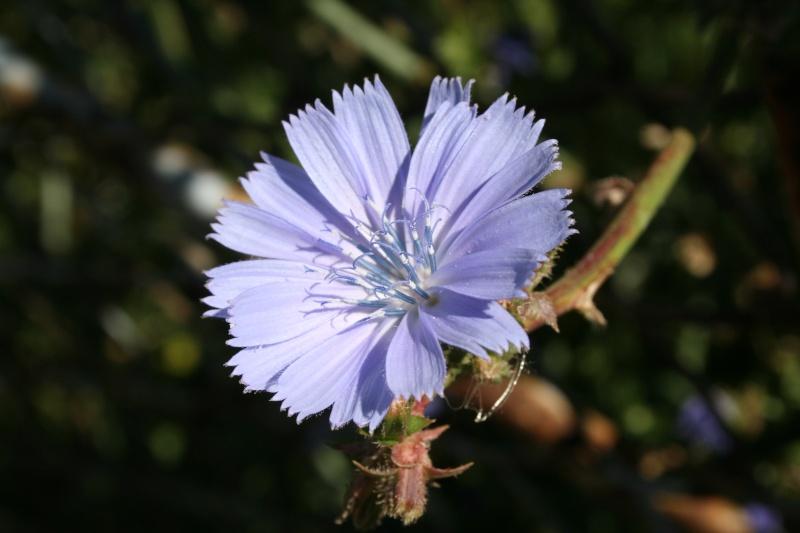 les chicorées...bleu vif Chicor10