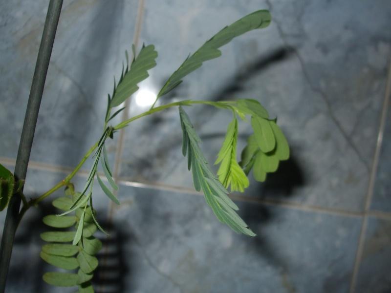 le tamarinier (Tamarindus indica)  - Page 2 Commen10