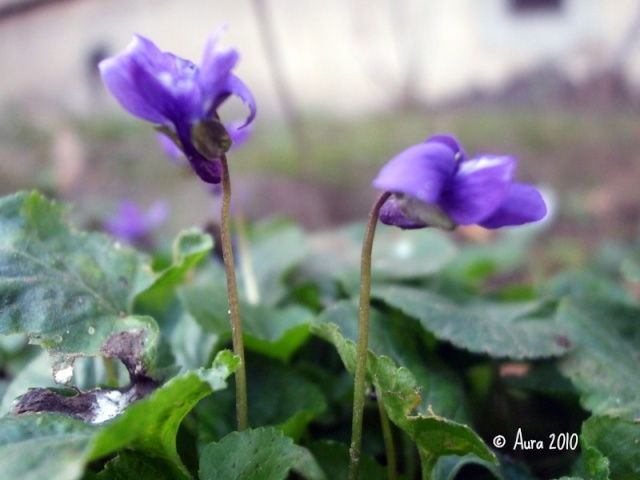 Les violettes africaines / violettes du cap(Saint Paulia). Entretien, espèces, des photos. Dscf5411