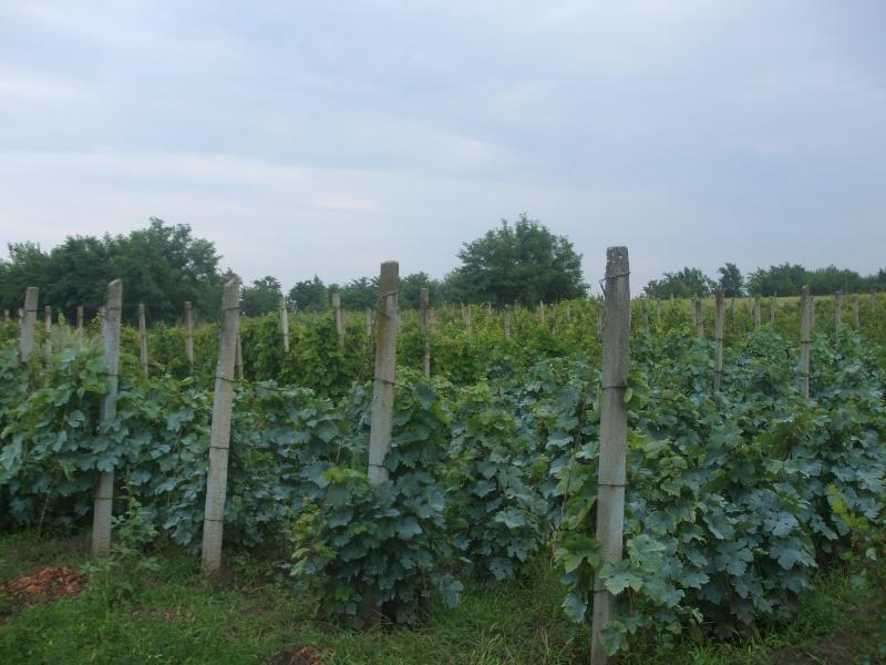 Vignes. Photos.  Culture, entretien, variétés, travaux. Dscf6815
