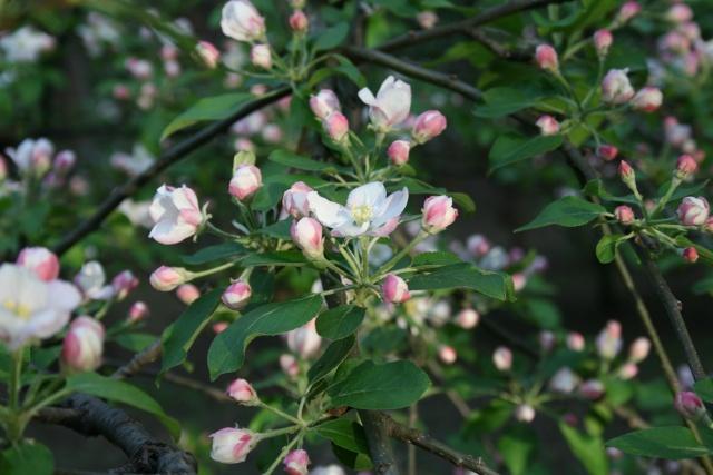 floraisons des arbres et des arbustes - Page 4 Fleurs13