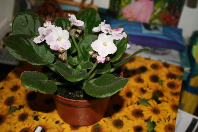 Les violettes africaines / violettes du cap(Saint Paulia). Entretien, espèces, des photos. Img_5812