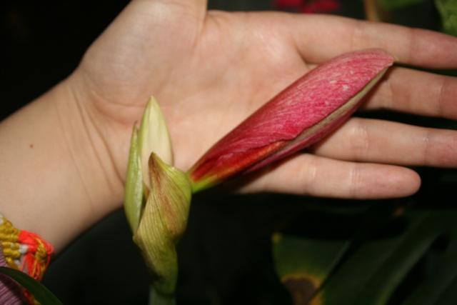 Amaryllis (hippeastrum) -culture, entretien, floraison - Page 2 Img_7514