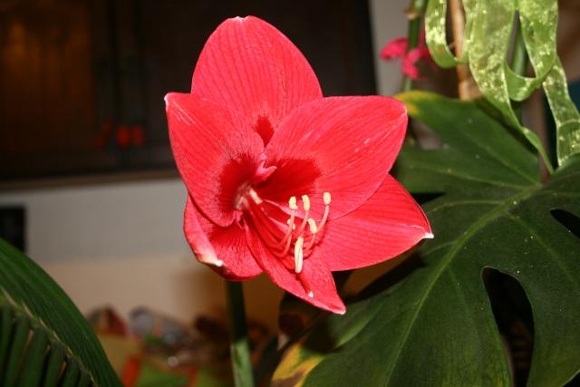 Amaryllis (hippeastrum) -culture, entretien, floraison - Page 2 Img_7710