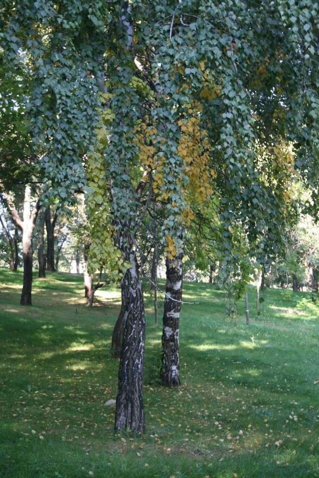 couleurs d'automne Peupli10