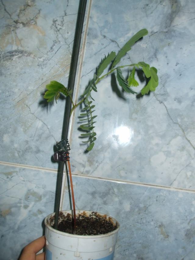 le tamarinier (Tamarindus indica)  - Page 2 Tamari10