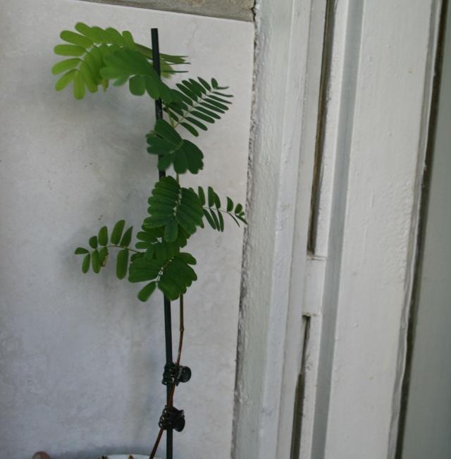 le tamarinier (Tamarindus indica)  - Page 2 Tamari15