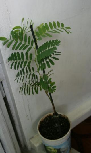 le tamarinier (Tamarindus indica)  - Page 2 Tamari16