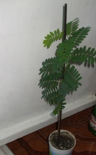 le tamarinier (Tamarindus indica)  - Page 2 Tamari18