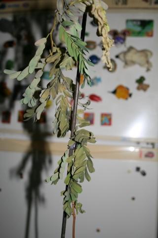 le tamarinier (Tamarindus indica)  - Page 3 Tamari19
