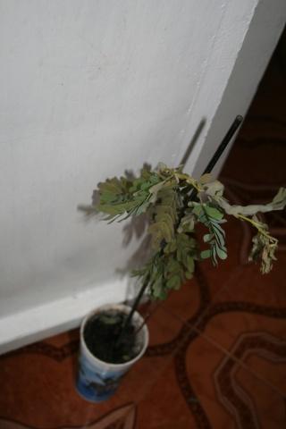 le tamarinier (Tamarindus indica)  - Page 3 Tamari20